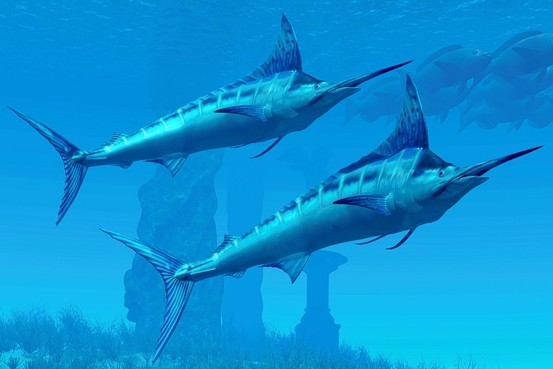 Blue Marlin Underwater